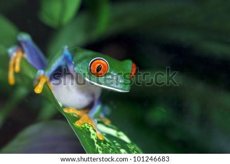 Red Eyed Tree Frog (Agalychnis callidryas) in the rainforest.
