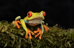 Red-eyed Tree Frog (Agalychnis callidryas) isolated against a black background on a mossy branch in Costa Rica