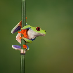 Red eyed tree frog (Agalychnis Callidryas) looking around