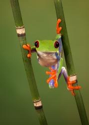 Red eyed tree frog (Agalychnis Callidryas) looking funny while hanging between 2 snakegrass
