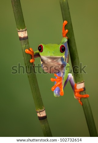 Red eyed tree frog (Agalychnis Callidryas) looking funny while hanging between 2 snakegrass
