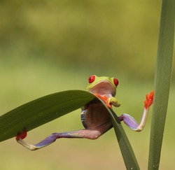 Red eyed tree frog (Agalychnis Callidryas) looking very surprised into the camera and holding steadily which looks funny