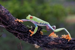 Red-eyed Tree Frog (Agalychnis callidryas) on a branch.