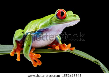 Photo of  Red Eyed Tree Frog,  Agalychnis Callidryas, on a Leaf with Black Background