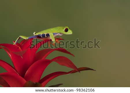 Red-eyed Tree Frog (Agalychnis Callidryas) sitting on a Bromelia