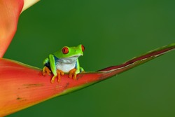 Red-eyed Tree Frog (Agalychnis Callidryas) sitting on a Heliconia Carabea Richmond Red