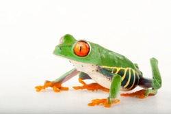 Red-eyed tree frog and white background