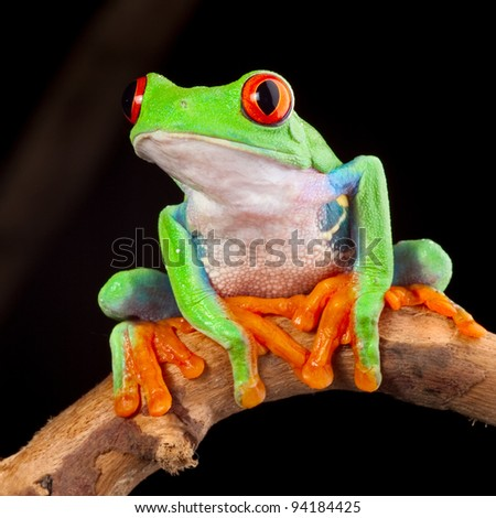 red eyed tree frog at night in tropical rainforest treefrog Agalychnis callydrias in jungle Costa Rica bright vivid colors beautiful colorful rainforest animal - stock photo