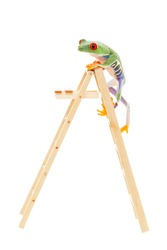 Red-eyed tree frog climbing to the top of the ladder.  Conceptual image illustrating success, promotion, advancement.  Also pet shop or zoo under construction or renovation.  Shot on white background.