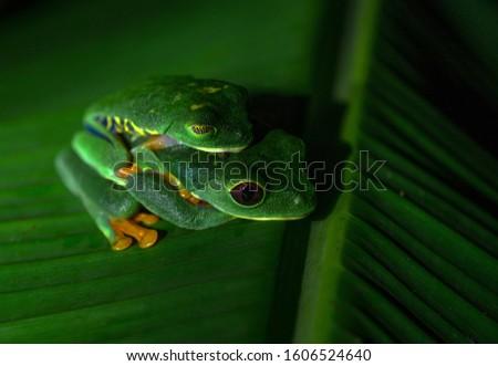Red Eyed Tree Frog Costa Rica Cahuita Central America Nature Rainforest Agalychnis callidryas pairing mateing Animal Amphibian Phyllomedusidae couple pairing mating green banana leaf Foto stock ©