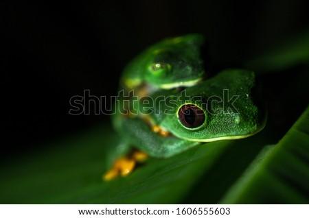 Red Eyed Tree Frog Costa Rica Cahuita Central America Nature Rainforest Agalychnis callidryas pairing mateing Animal Amphibian Phyllomedusidae couple pairing mating banana leaf green Foto stock ©