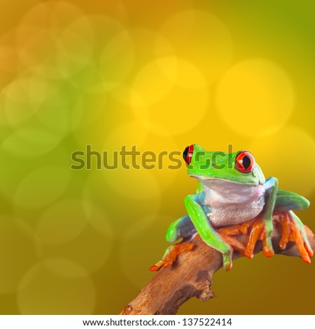 Red eyed tree frog from Costa Rica rain forest. Beautiful tropical treefrog on a bright background with copy space. Exotic rainforest animal with cute and funny looks. Agalychnis callidryas