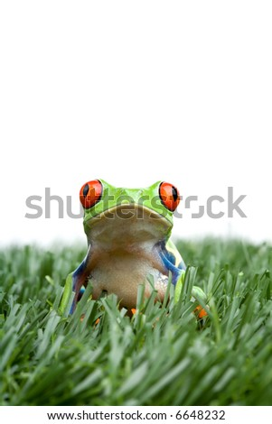 red-eyed tree frog in the grass, closeup isolated on white