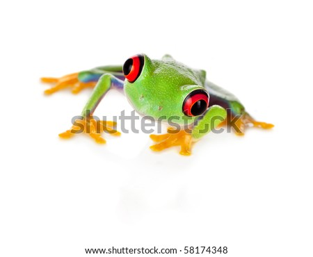 Red eyed tree frog isolated on white