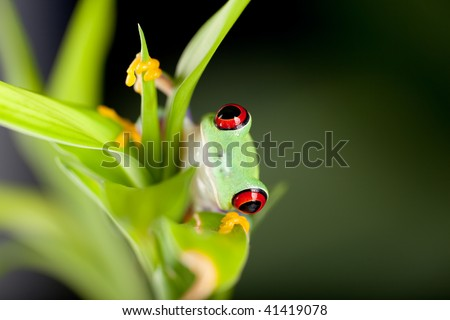 Red eyed tree frog on bamboo branch