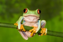 Red Eyed Tree Frog on Branch