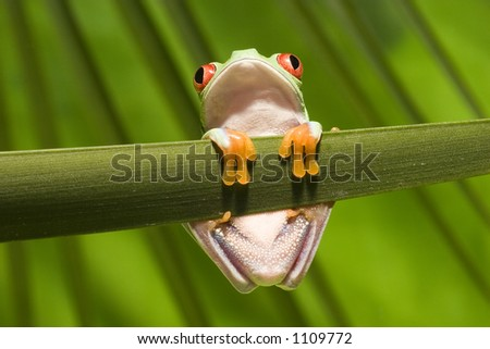 Red Eyed Tree Frog on branch 3