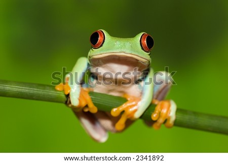 Red Eyed Tree Frog on Branch - stock photo