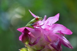 Red eyed tree frog on exotic flower