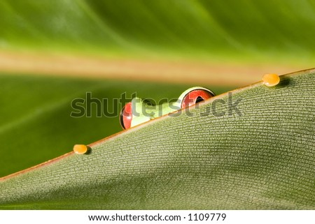 Red Eyed Tree Frog on peering out from leaf