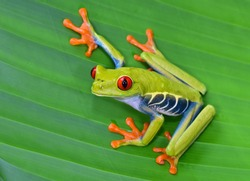 red eyed tree frog or gaudy leaf frog or Agalychnis callidryas a arboreal hylid native to tropical rainforests in Central America in panama and costa rica . Mistakenly also called the Green Tree Frog