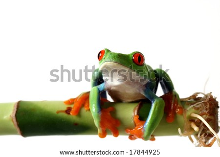 Red-Eyed Tree Frog perching on bamboo and isolated on white background.