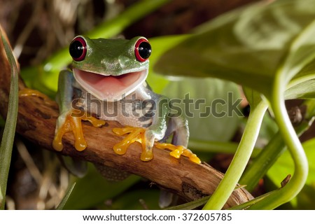 Red-eyed tree frog smile