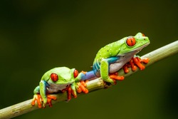Red-eyed tree frogs (Agalychnis callidryas) - closeup with selective focus.