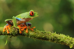 Red-eyed treefrog, Agalychnis saltator, Costa Rica