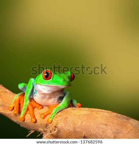 red eyed treefrog, from Costa Rica tropical rainforest. This vibrant tree frog is often kept as an exotic amphibian pet animal in a rain forest terrarium background with copy space