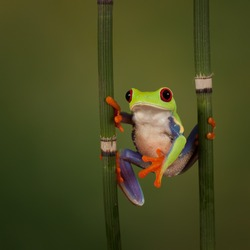 Red Eyed Treefrog hanging around