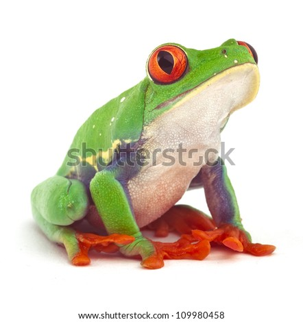 red eyed treefrog macro isolated exotic frog curious animal bright vivid colors