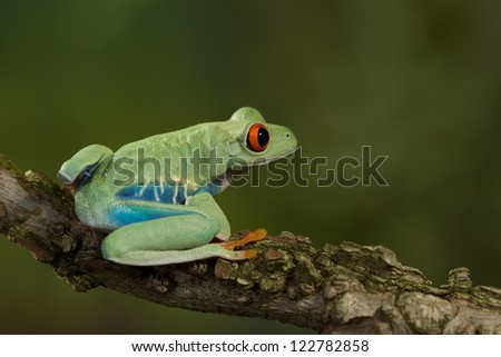 Red Eyed Treefrog resting on a branch