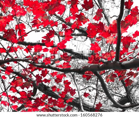 Red Fall leaves contrast on black and white background
