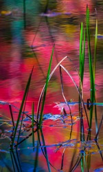 Red fall leaves reflect colors in forest pond