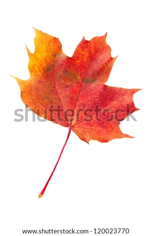 red fallen autumn leaf isolated on a white background