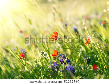 Red field flowers with green crops. Shallow DOF
