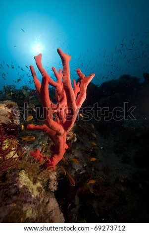 Red finger sponge and tropical underwater life in the Red Sea.