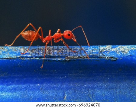Red Fire Ant #696924070