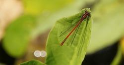 Red firefly sitting on a leaf