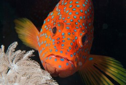 red fish head, coral hind grouper underwater on a coral reef in tropical water