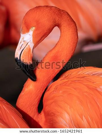 Red flamingo (Phoenicopterus ruber), close up to the Caribbean bird stock photo