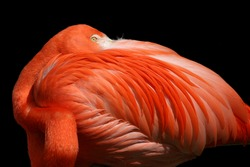 Red flamingo portrait from ZOO - isolated on black background