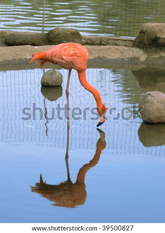 Red flamingo standing in water, Moscow zoo