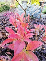 red fleecy Azalea leaves on a mulched bed on the background of green and blue conifers in the garden