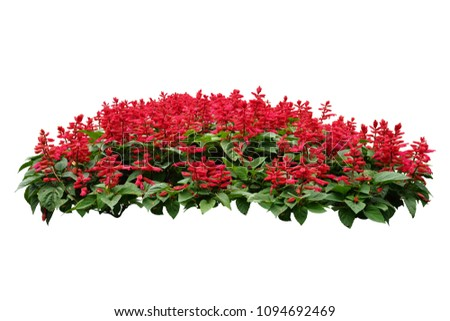 red flower bush tree isolated tropical plant with clipping path #1094692469