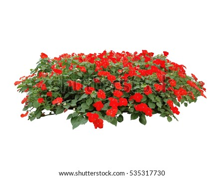 red flower bush tree isolated white background #535317730
