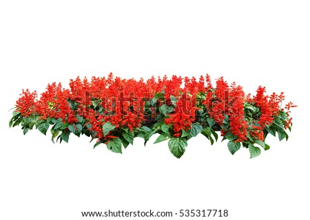red flower bush tree isolated whited background #535317718