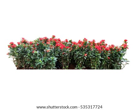 red flower bush tree isolated whited background #535317724