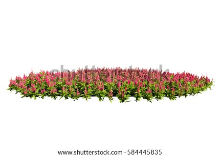 red flower bush tree isolated with clipping path #584445835